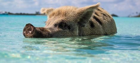 08_UTWORY__Miroljub Todorović__Świnia jest najlepszym pływakiem (2)